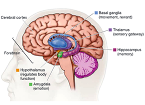 The Cortex And The Amygdala